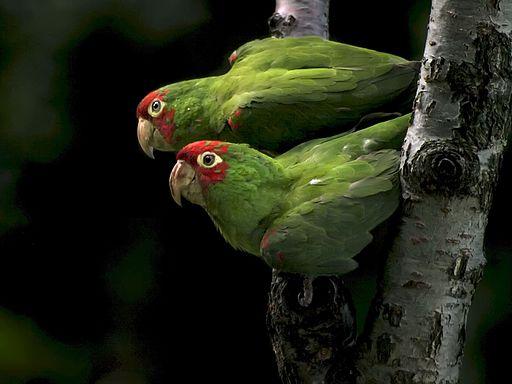 512px-Aratinga_erythrogenys_-San_Francisco_USA_-feral_parrots-8
