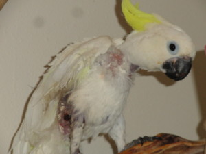 Rescued Sulfur Crested Cockatoo