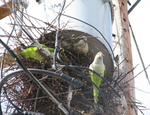 2007 December 7th The Oregonian Wild parrots in Yacolt get more time as solution sought