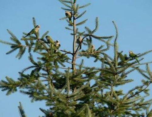 2007 December 3rd Update on Endangered Wild Quaker Parrots of Yacolt, Washington